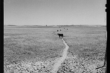 photo of cattle in sandhills 0801_0401